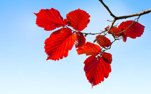 Red Hazel leaves: Fresh spring hazel leaves against blue background