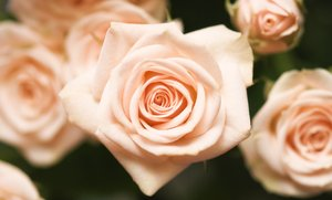 Small pink roses: roses banner
