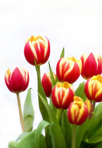 Tulips: Spring tulips