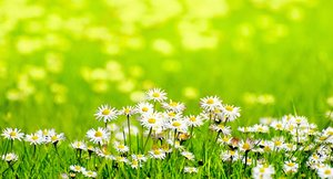 Daisies in sunny meadow: daisies in sunlight