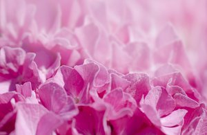 Flower abstract hortensia: Pink flower closeup