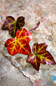 Three fall leaves still: Three fall colored leaves on concrete background