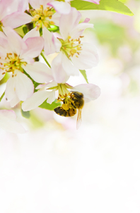 Bee in apple tree: Bee in blossom