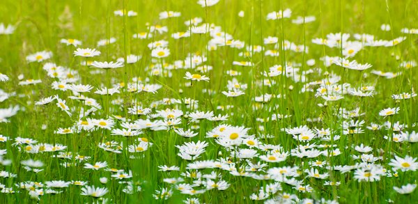 Summer field: summer daisies in grassy meadow