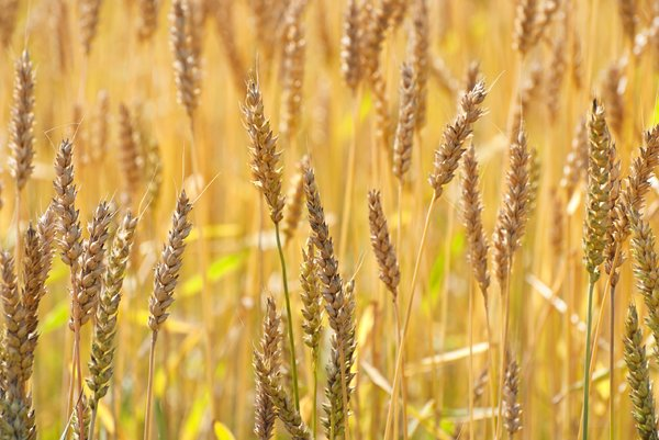 Wheat: ripe wheat