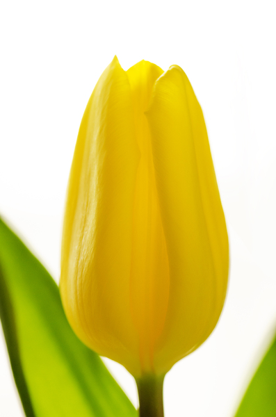 Yellow tulip: Beautiful yellow spring tulip against a white background